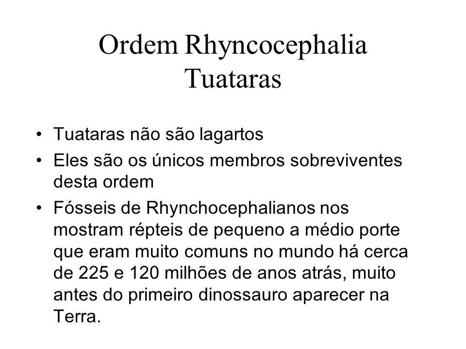 Ordem Rhyncocephalia Tuataras Tuataras não são lagartos Eles são os únicos membros sobreviventes desta ordem Fósseis de Rhynchocephalianos nos mostram répteis de pequeno a médio porte que eram muito comuns no mundo há cerca de 225 e 120 milhões de anos atrás, muito antes do primeiro dinossauro aparecer na Terra.