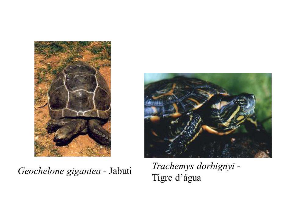 Geochelone gigantea - Jabuti Trachemys dorbignyi - Tigre dágua