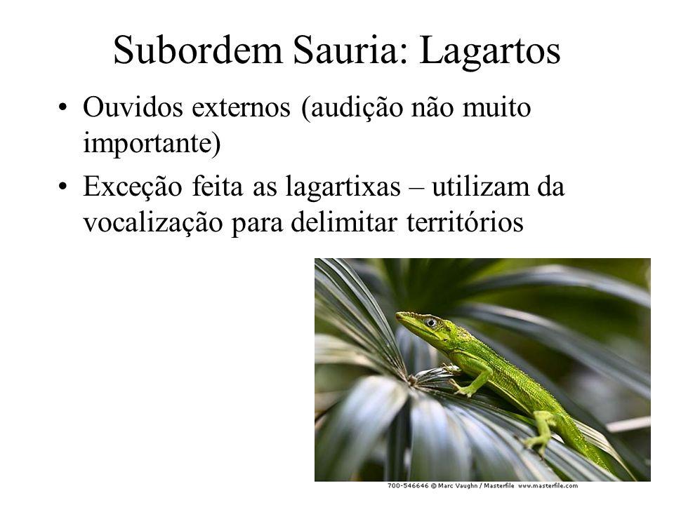 Subordem Sauria: Lagartos Ouvidos externos (audição não muito importante) Exceção feita as lagartixas – utilizam da vocalização para delimitar territórios