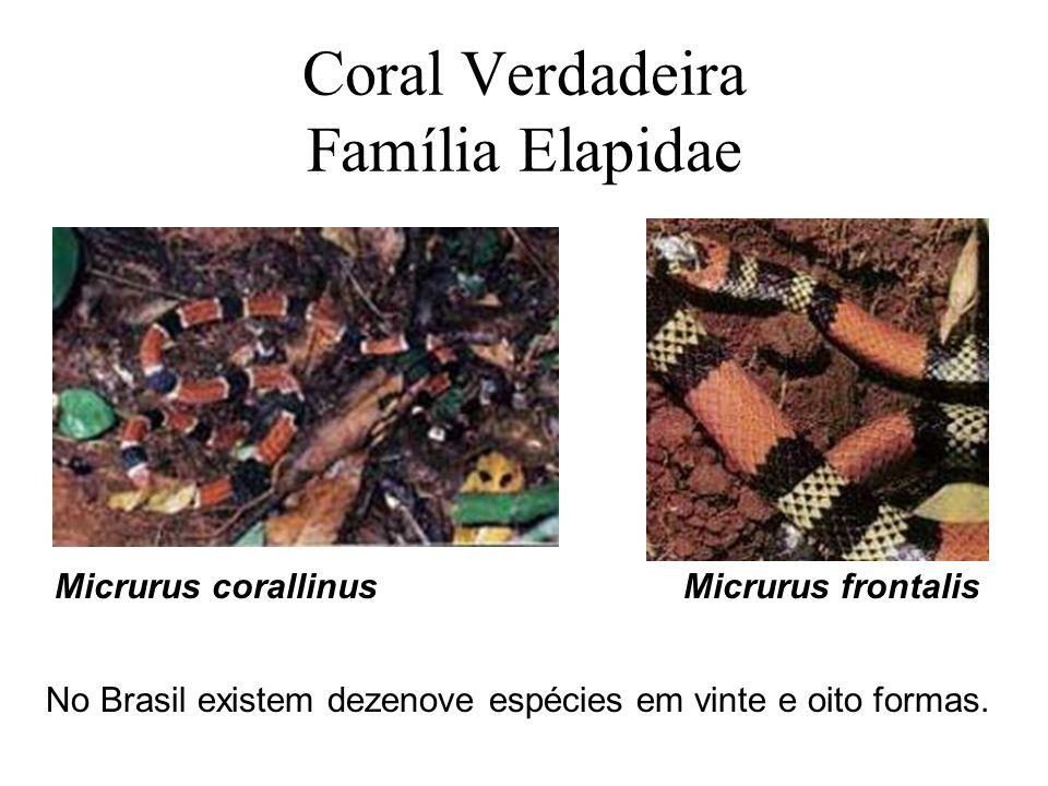Coral Verdadeira Família Elapidae Micrurus corallinusMicrurus frontalis No Brasil existem dezenove espécies em vinte e oito formas.