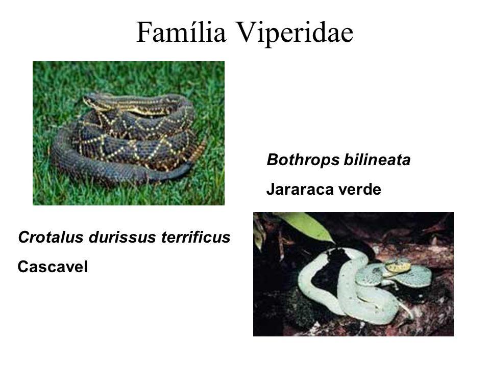 Família Viperidae Crotalus durissus terrificus Cascavel Bothrops bilineata Jararaca verde