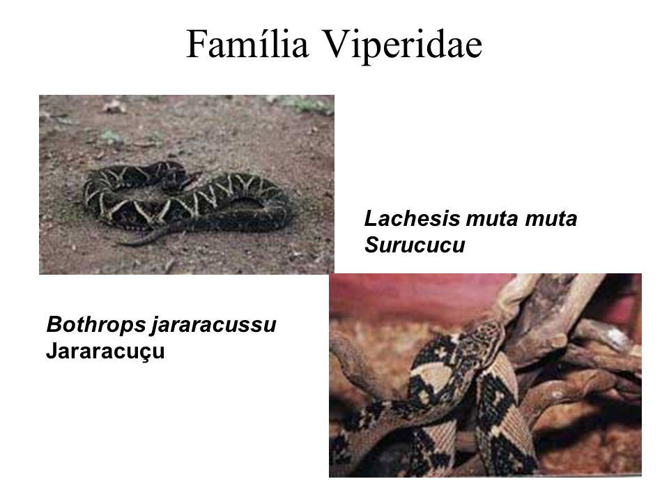 Família Viperidae Bothrops jararacussu Jararacuçu Lachesis muta muta Surucucu