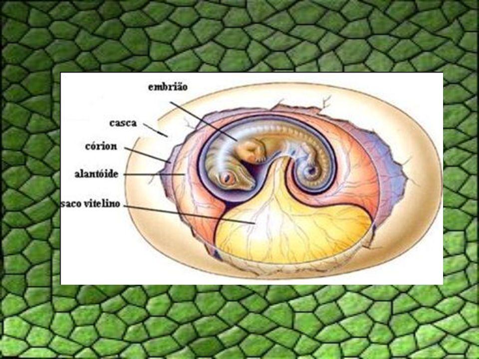 Sistema Circulatório Coração incompletamente dividido em 4 câmaras (duas aurículas e um ventrículo parcialmente dividido), exceto nos crocodilianos, onde o septo ventricular é completo.