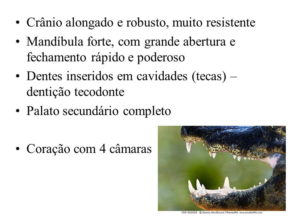 Crânio alongado e robusto, muito resistente Mandíbula forte, com grande abertura e fechamento rápido e poderoso Dentes inseridos em cavidades (tecas) – dentição tecodonte Palato secundário completo Coração com 4 câmaras