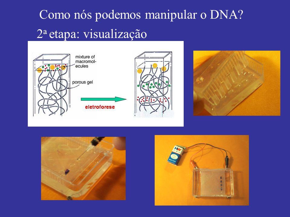 Como nós podemos manipular o DNA? 2 a etapa: visualização