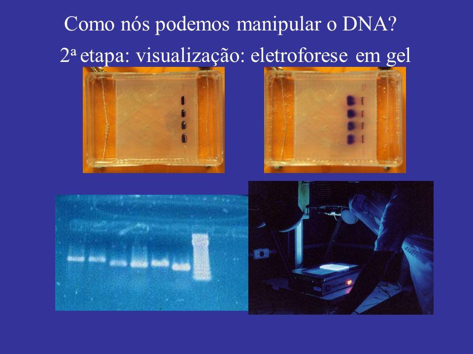 Como nós podemos manipular o DNA? 2 a etapa: visualização: eletroforese em gel