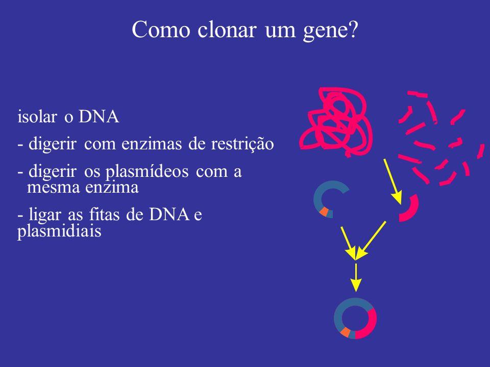 isolar o DNA - digerir com enzimas de restrição - digerir os plasmídeos com a mesma enzima - ligar as fitas de DNA e plasmidiais Como clonar um gene?
