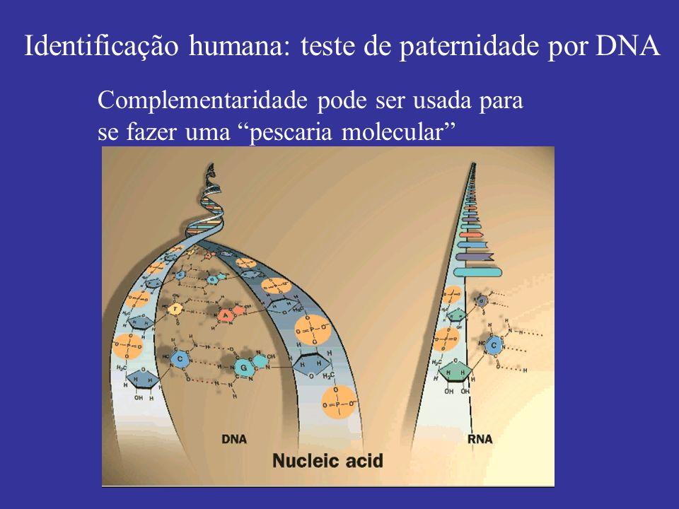 Identificação humana: teste de paternidade por DNA Complementaridade pode ser usada para se fazer uma pescaria molecular
