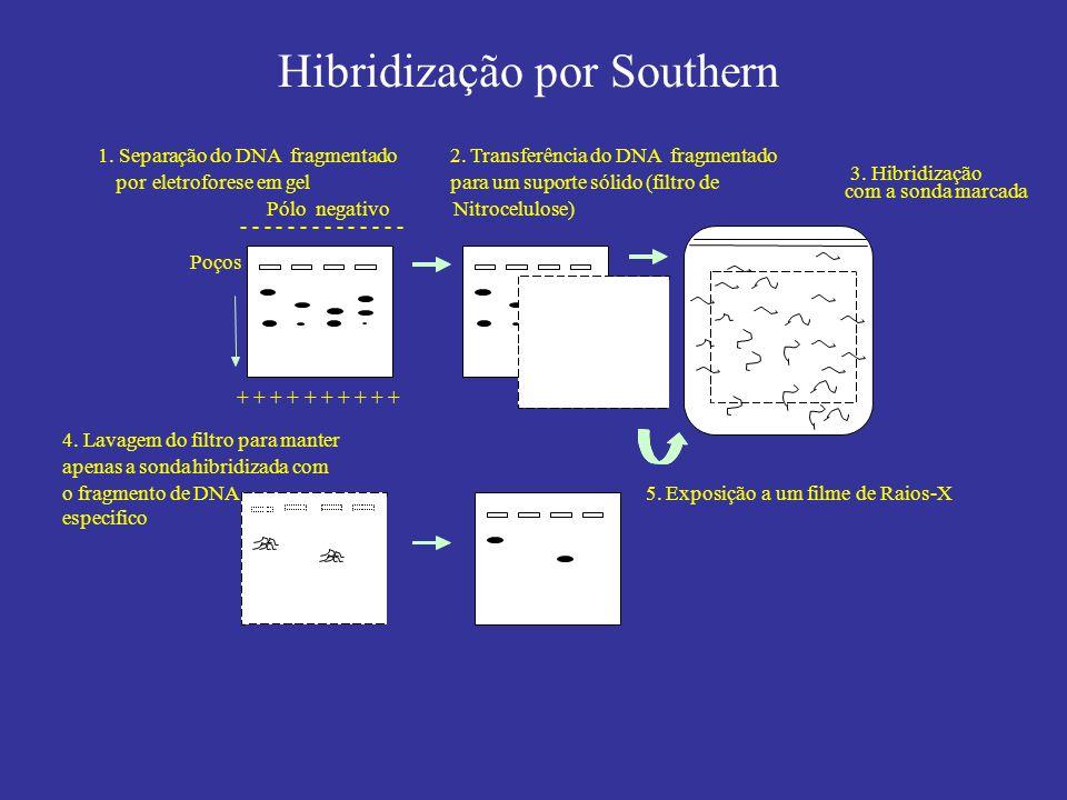 Hibridização por Southern + + + + + Pólo negativo - - - - - - - Poços 1. Separação do DNA fragmentado poreletroforese em gel 2. Transferência do DNA f