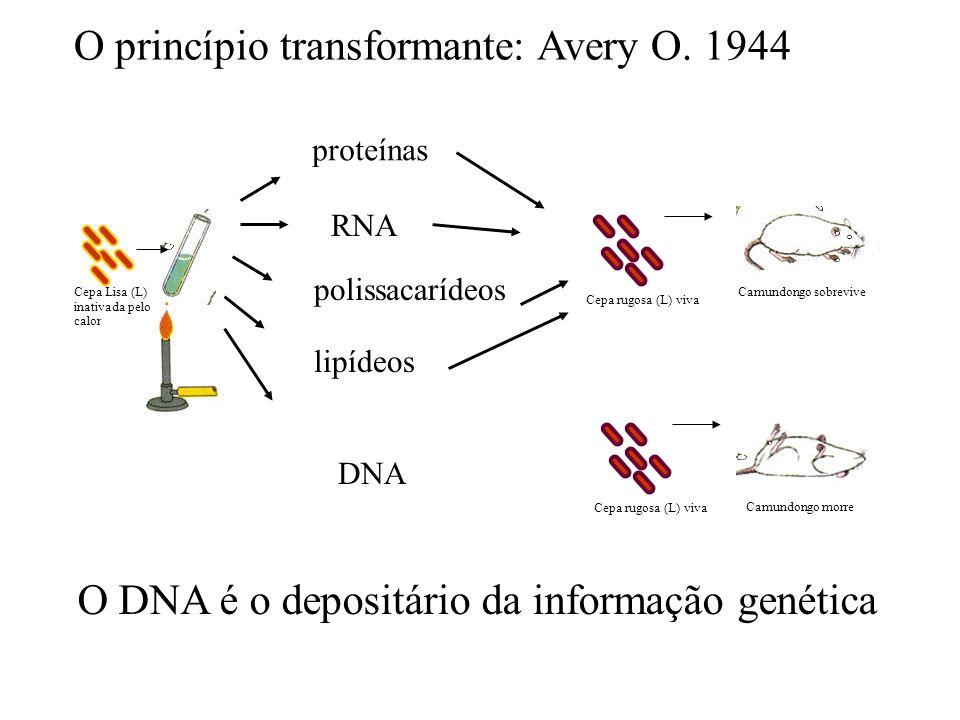 Cepa Lisa (L) inativada pelo calor Cepa rugosa (L) viva Camundongo morre O princípio transformante: Avery O. 1944 O DNA é o depositário da informação