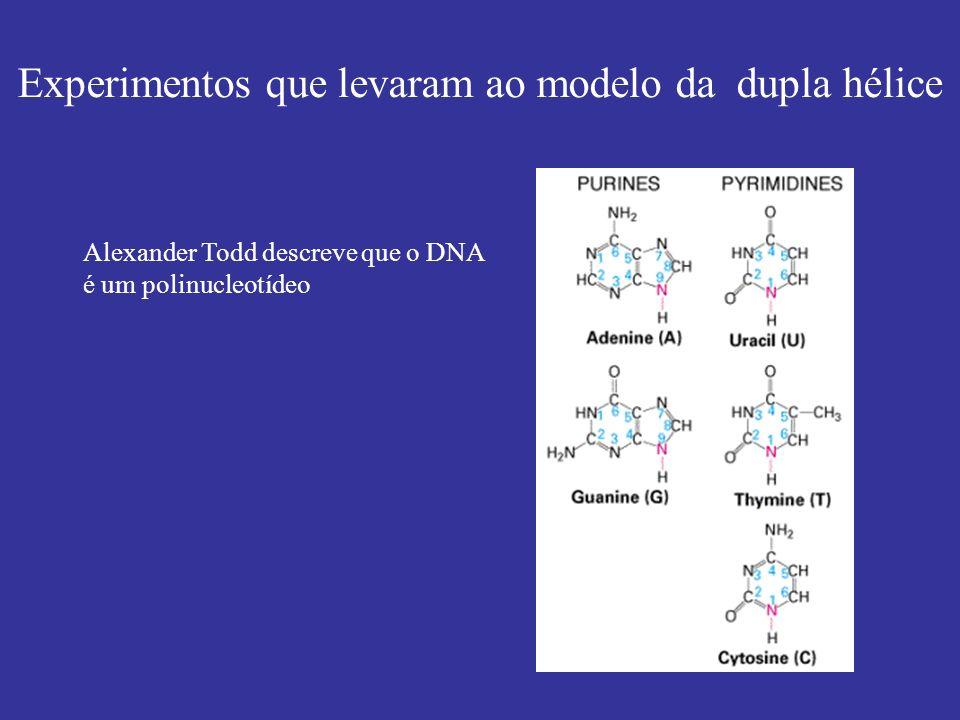 Experimentos que levaram ao modelo da dupla hélice Alexander Todd descreve que o DNA é um polinucleotídeo