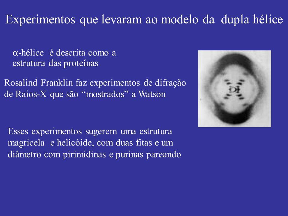 Rosalind Franklin faz experimentos de difração de Raios-X que são mostrados a Watson Esses experimentos sugerem uma estrutura magricela e helicóide, c