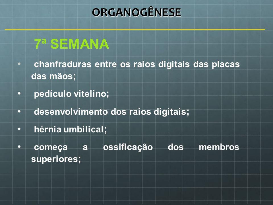 ORGANOGÊNESE 7ª SEMANA chanfraduras entre os raios digitais das placas das mãos ; pedículo vitelino ; desenvolvimento dos raios digitais ; hérnia umbi