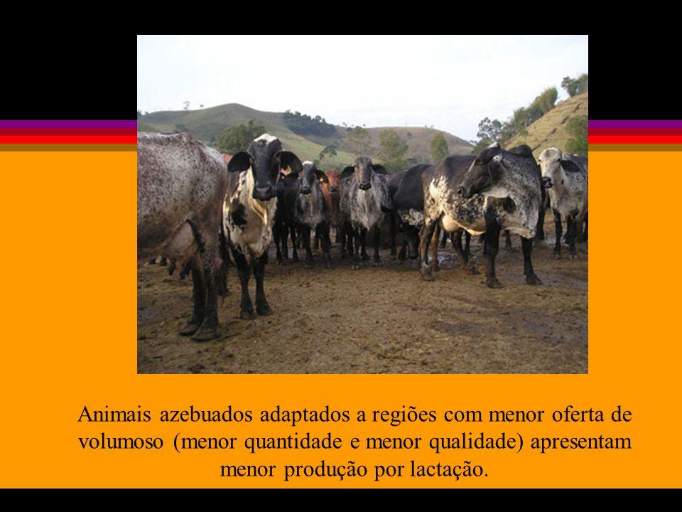 Animais azebuados adaptados a regiões com menor oferta de volumoso (menor quantidade e menor qualidade) apresentam menor produção por lactação.