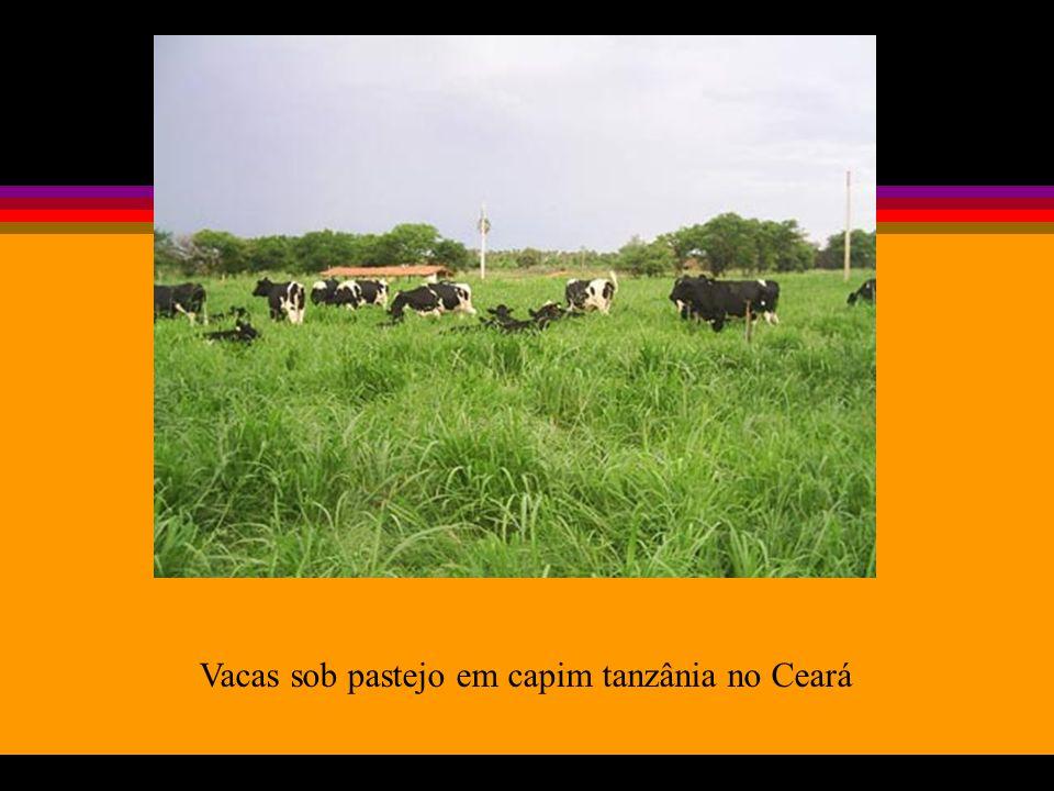 Vacas sob pastejo em capim tanzânia no Ceará