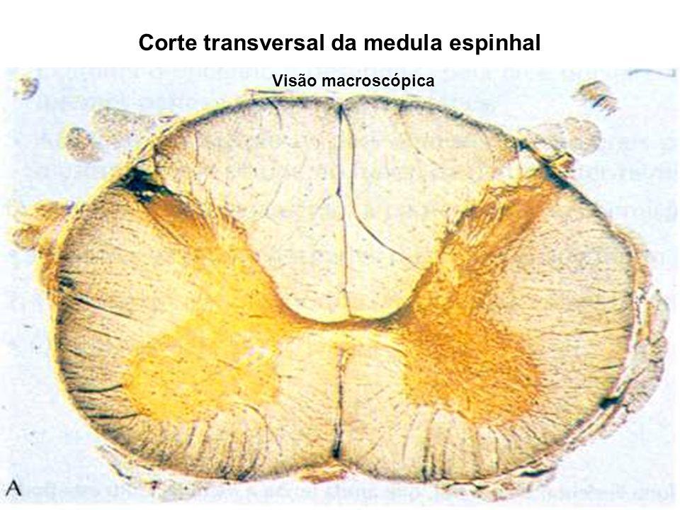 Corte transversal da medula espinhal Visão macroscópica