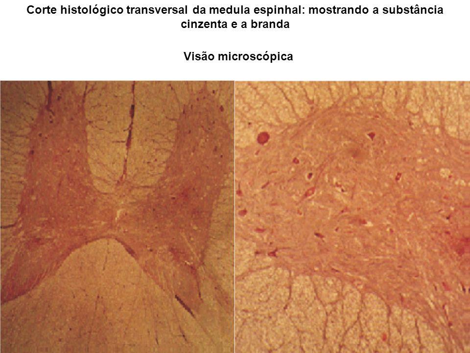 Corte histológico transversal da medula espinhal: mostrando a substância cinzenta e a branda Visão microscópica