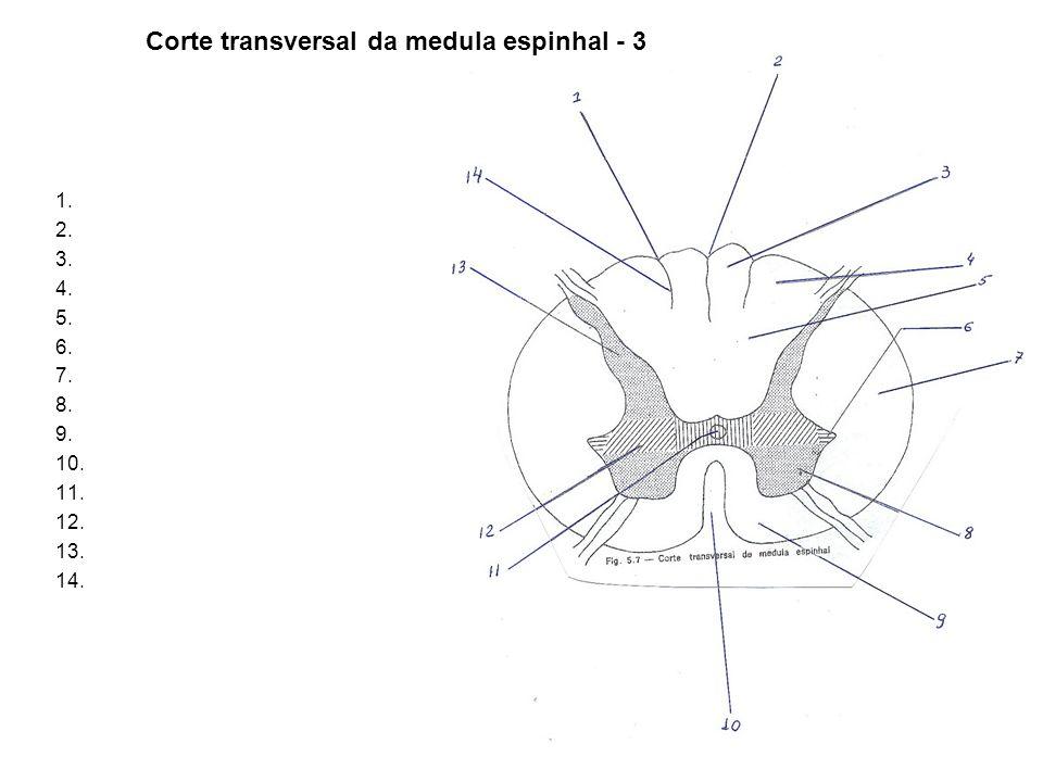 1. 2. 3. 4. 5. 6. 7. 8. 9. 10. 11. 12. 13. 14. Corte transversal da medula espinhal - 3