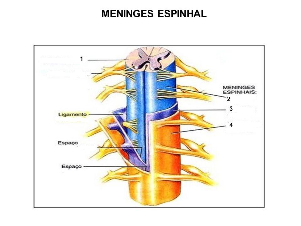 MENINGES ESPINHAL 1 2 3 4