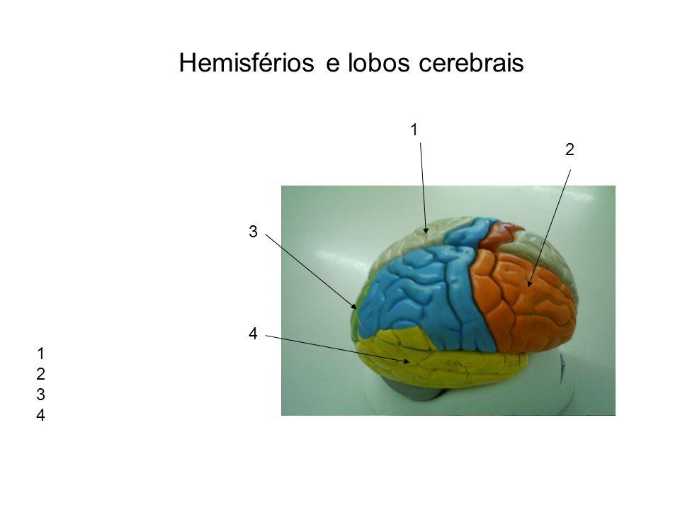 Hemisférios e lobos cerebrais 1 2 3 4 1 2 3 4
