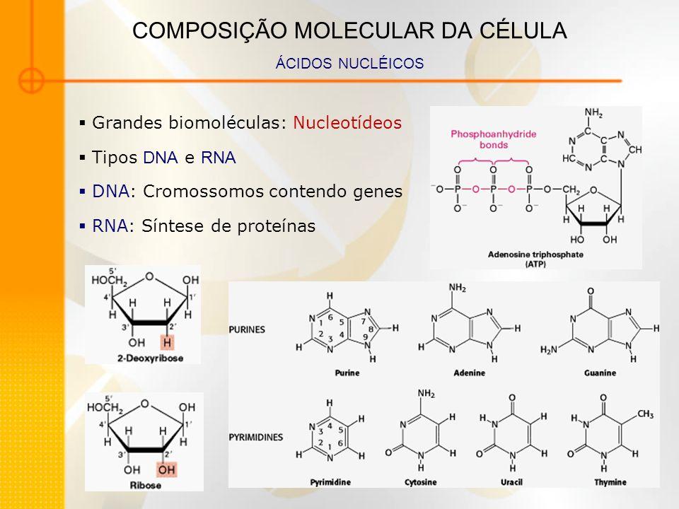 COMPOSIÇÃO MOLECULAR DA CÉLULA ÁCIDOS NUCLÉICOS Grandes biomoléculas: Nucleotídeos Tipos DNA e RNA DNA: Cromossomos contendo genes RNA: Síntese de pro