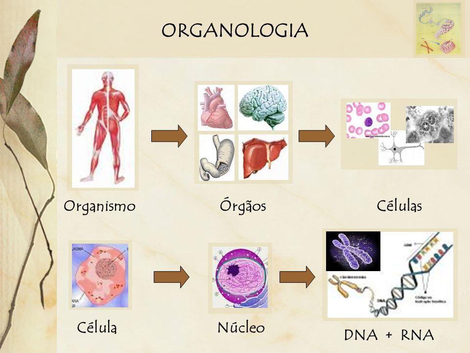 ORGANOLOGIA OrganismoÓrgãosCélulas CélulaNúcleo DNA + RNA