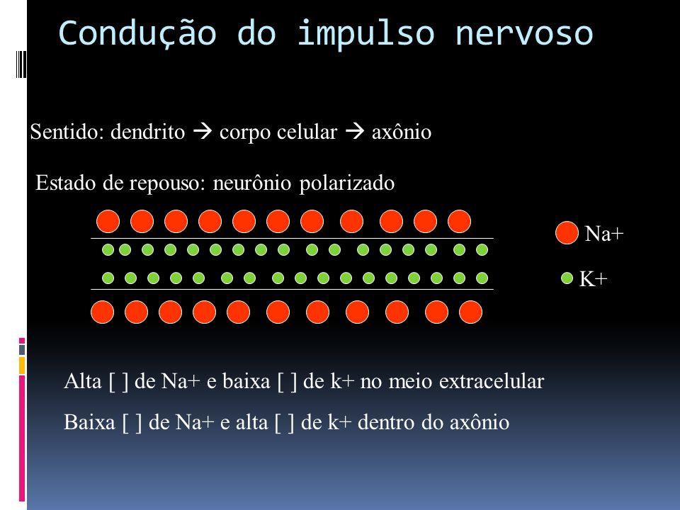Condução do impulso nervoso Sentido: dendrito corpo celular axônio Estado de repouso: neurônio polarizado Alta [ ] de Na+ e baixa [ ] de k+ no meio ex