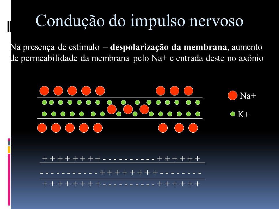 Condução do impulso nervoso Na presença de estímulo – despolarização da membrana, aumento de permeabilidade da membrana pelo Na+ e entrada deste no ax
