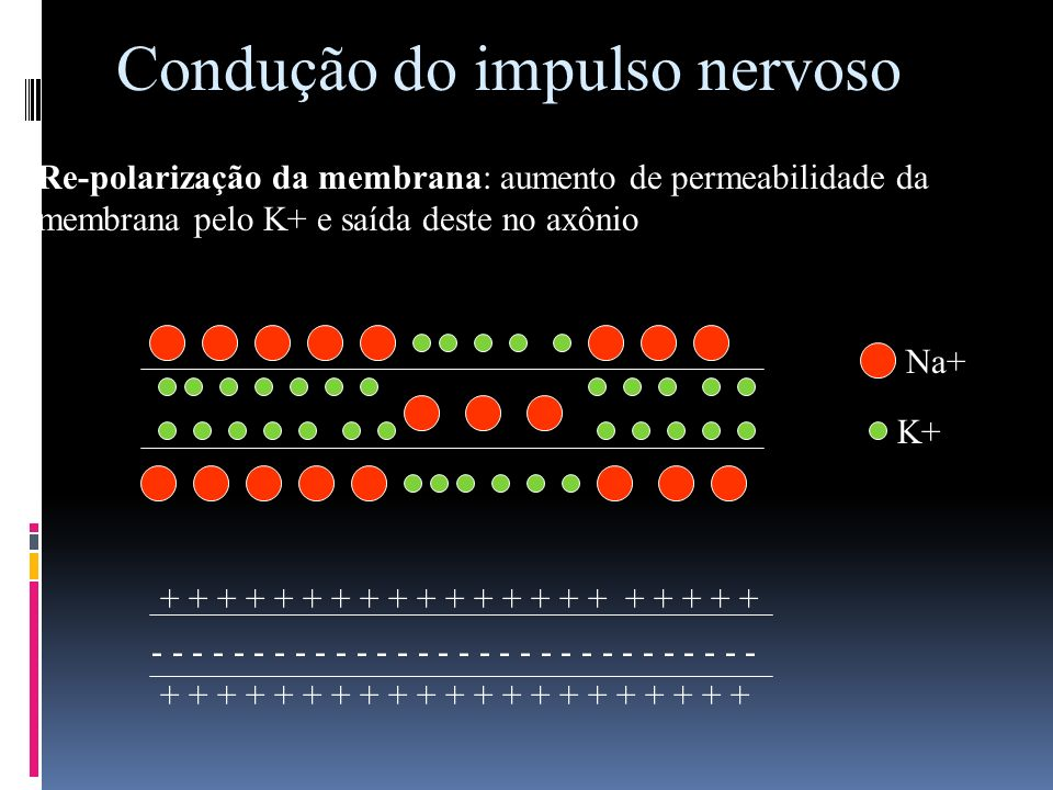 Condução do impulso nervoso Re-polarização da membrana: aumento de permeabilidade da membrana pelo K+ e saída deste no axônio Na+ K+ - - - - - - - - -