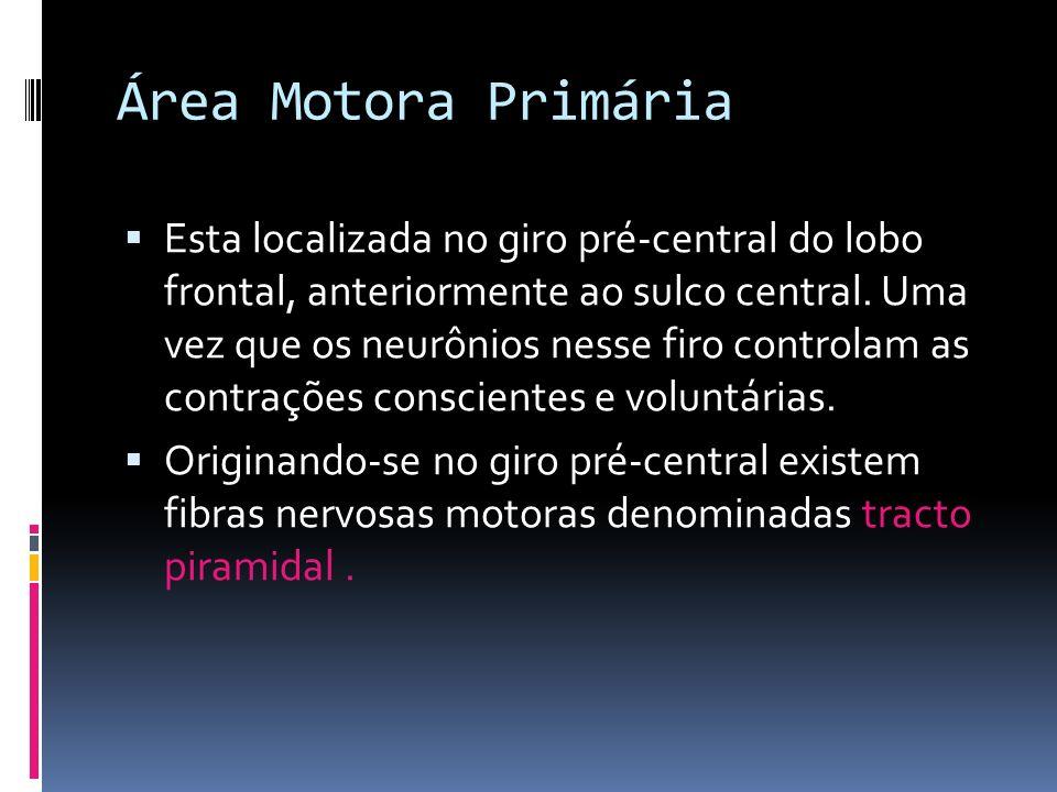 Área Motora Primária Esta localizada no giro pré-central do lobo frontal, anteriormente ao sulco central. Uma vez que os neurônios nesse firo controla