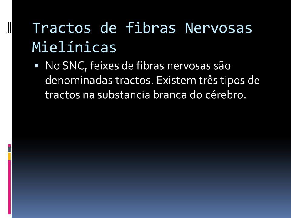 Tractos de fibras Nervosas Mielínicas No SNC, feixes de fibras nervosas são denominadas tractos. Existem três tipos de tractos na substancia branca do