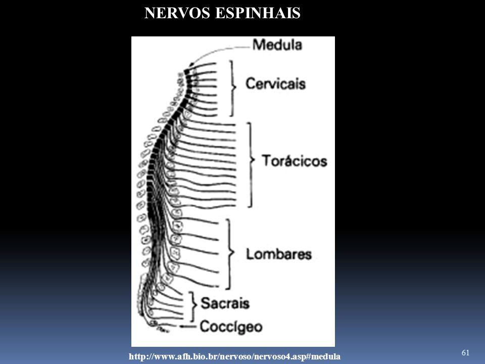 61 http://www.afh.bio.br/nervoso/nervoso4.asp#medula NERVOS ESPINHAIS
