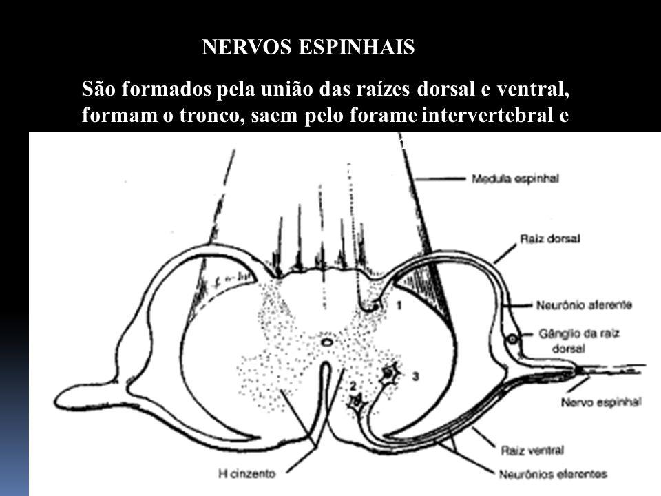 62 São formados pela união das raízes dorsal e ventral, formam o tronco, saem pelo forame intervertebral e logo em seguida formam os ramos anteriores