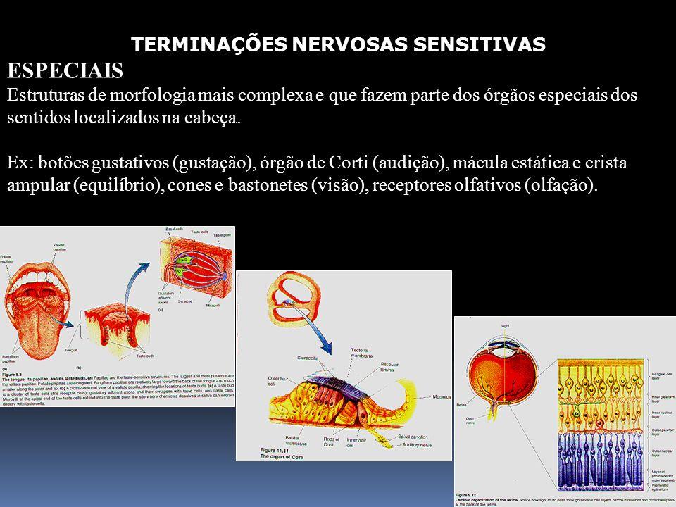 70 TERMINAÇÕES NERVOSAS SENSITIVAS ESPECIAIS Estruturas de morfologia mais complexa e que fazem parte dos órgãos especiais dos sentidos localizados na