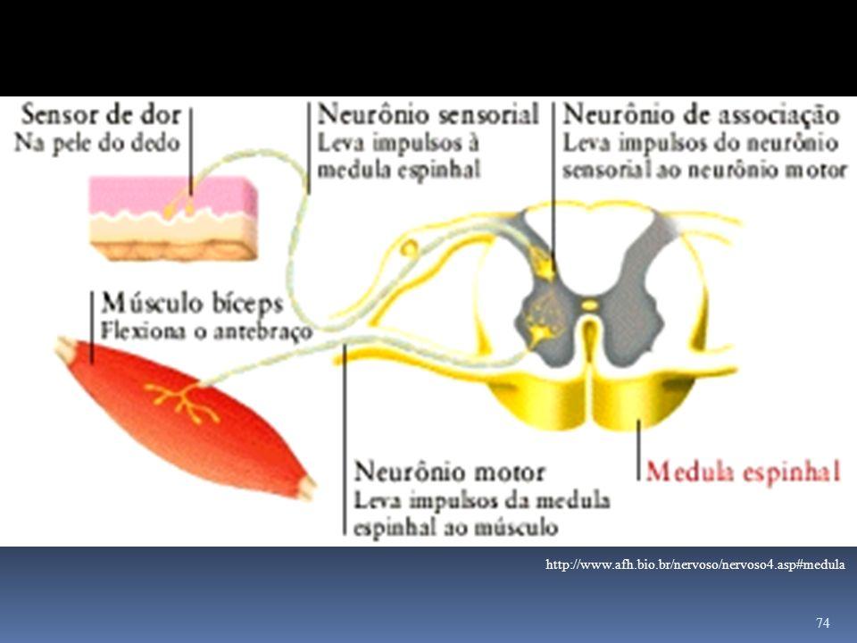 74 http://www.afh.bio.br/nervoso/nervoso4.asp#medula