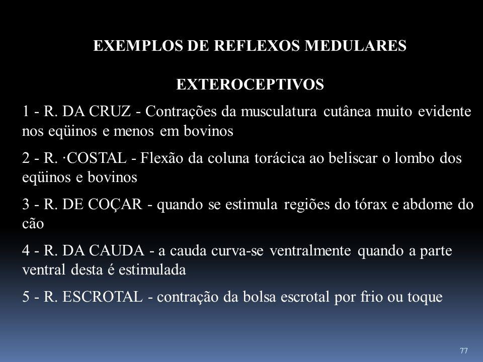 77 EXEMPLOS DE REFLEXOS MEDULARES EXTEROCEPTIVOS 1 - R. DA CRUZ - Contrações da musculatura cutânea muito evidente nos eqüinos e menos em bovinos 2 -