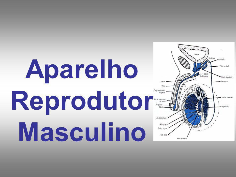 Distribuição: - Testículos (gônadas masculinas) - Ductos genitais - Glândulas acessórias - Estruturas de suporte : Pênis Escroto Funções: - formação de espermatozóides - produção de hormônios sexuais - liberação de gametas no trato reprodutor feminino