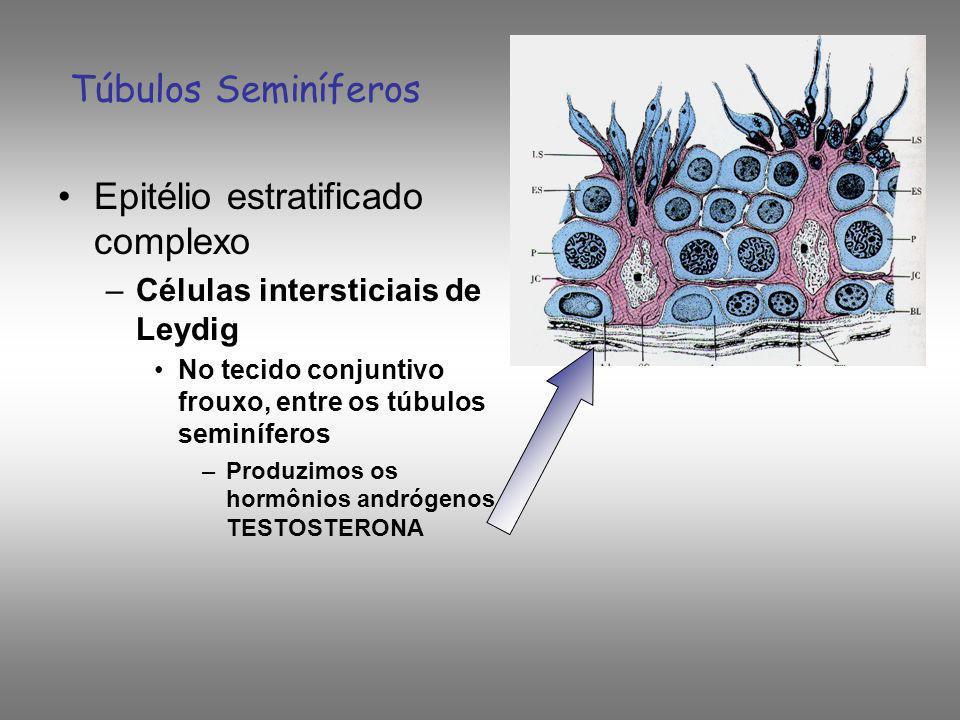 Túbulos Seminíferos Epitélio estratificado complexo –Células intersticiais de Leydig No tecido conjuntivo frouxo, entre os túbulos seminíferos –Produz