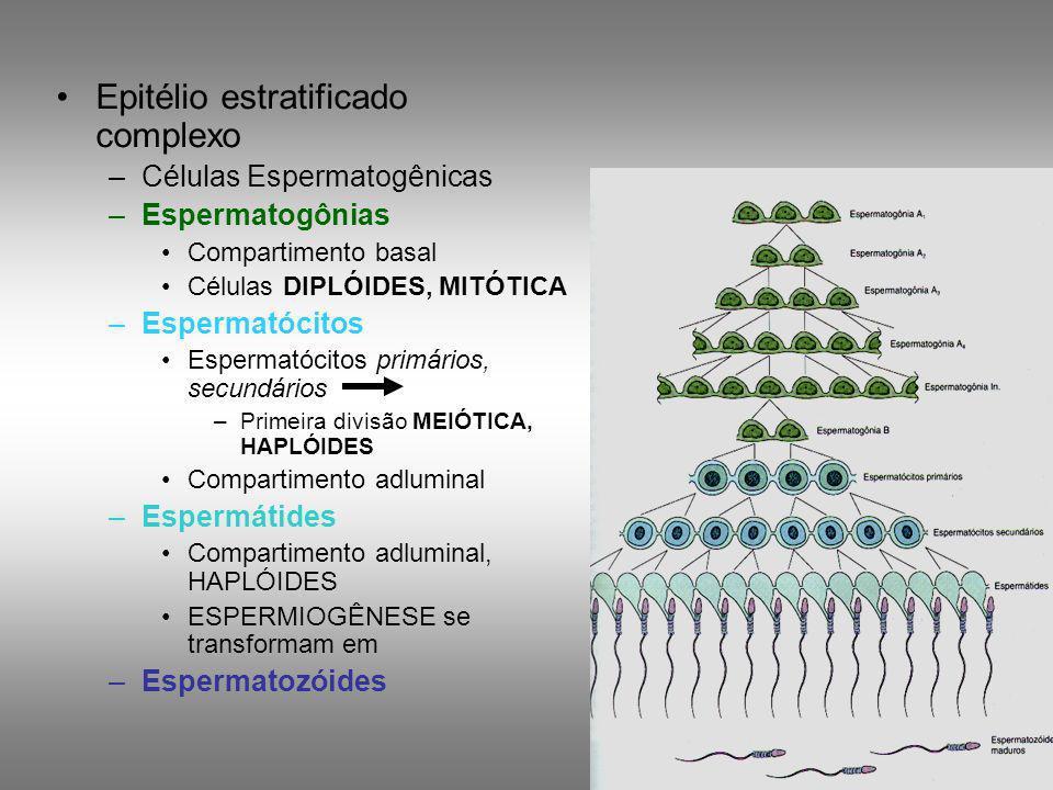 Epitélio estratificado complexo –Células Espermatogênicas –Espermatogônias Compartimento basal Células DIPLÓIDES, MITÓTICA –Espermatócitos Espermatóci
