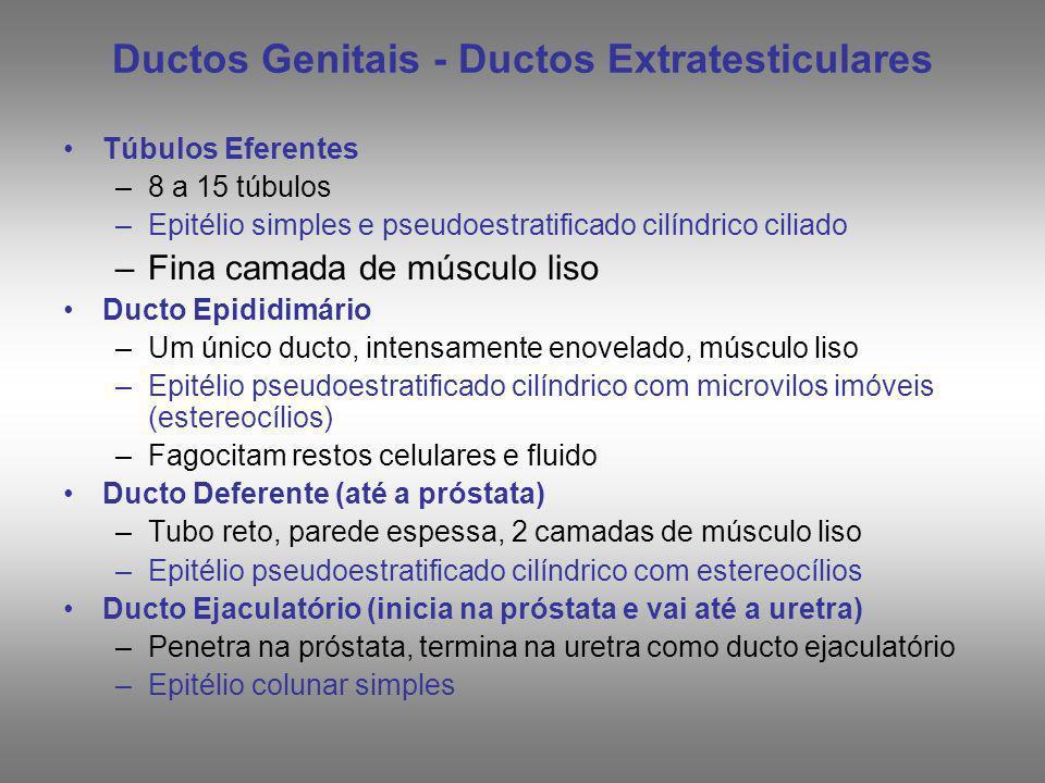 Ductos Genitais - Ductos Extratesticulares Túbulos Eferentes –8 a 15 túbulos –Epitélio simples e pseudoestratificado cilíndrico ciliado –Fina camada d