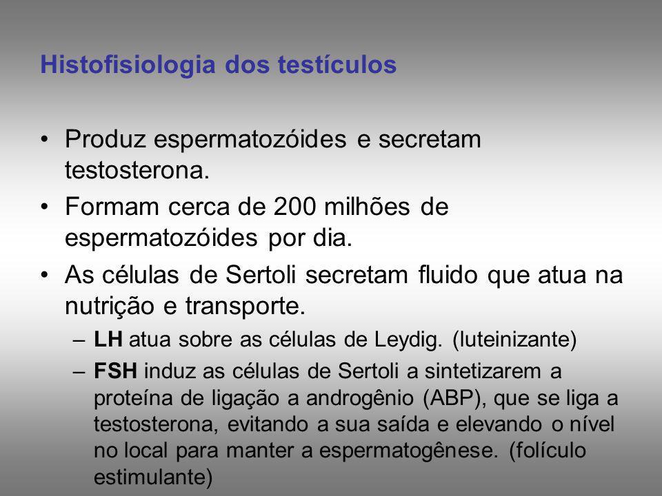 Histofisiologia dos testículos Produz espermatozóides e secretam testosterona. Formam cerca de 200 milhões de espermatozóides por dia. As células de S