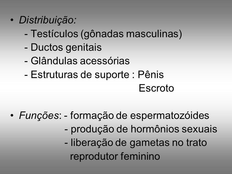 Distribuição: - Testículos (gônadas masculinas) - Ductos genitais - Glândulas acessórias - Estruturas de suporte : Pênis Escroto Funções: - formação d
