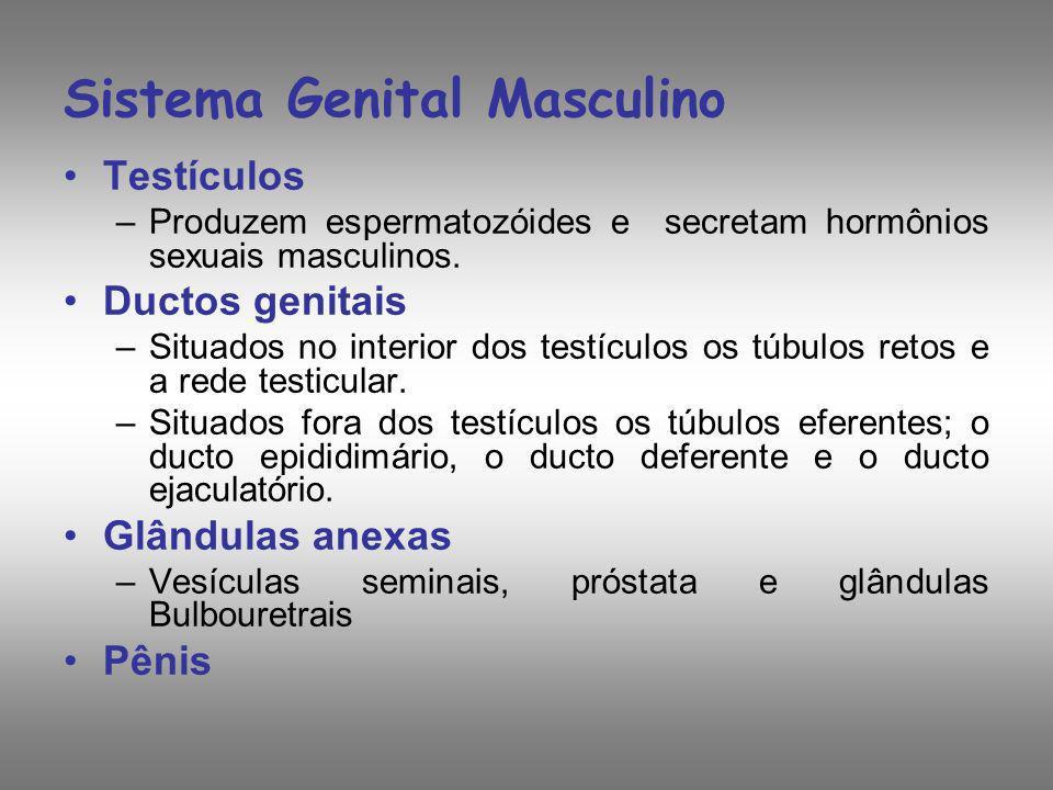 Sistema Genital Masculino Testículos –Produzem espermatozóides e secretam hormônios sexuais masculinos. Ductos genitais –Situados no interior dos test