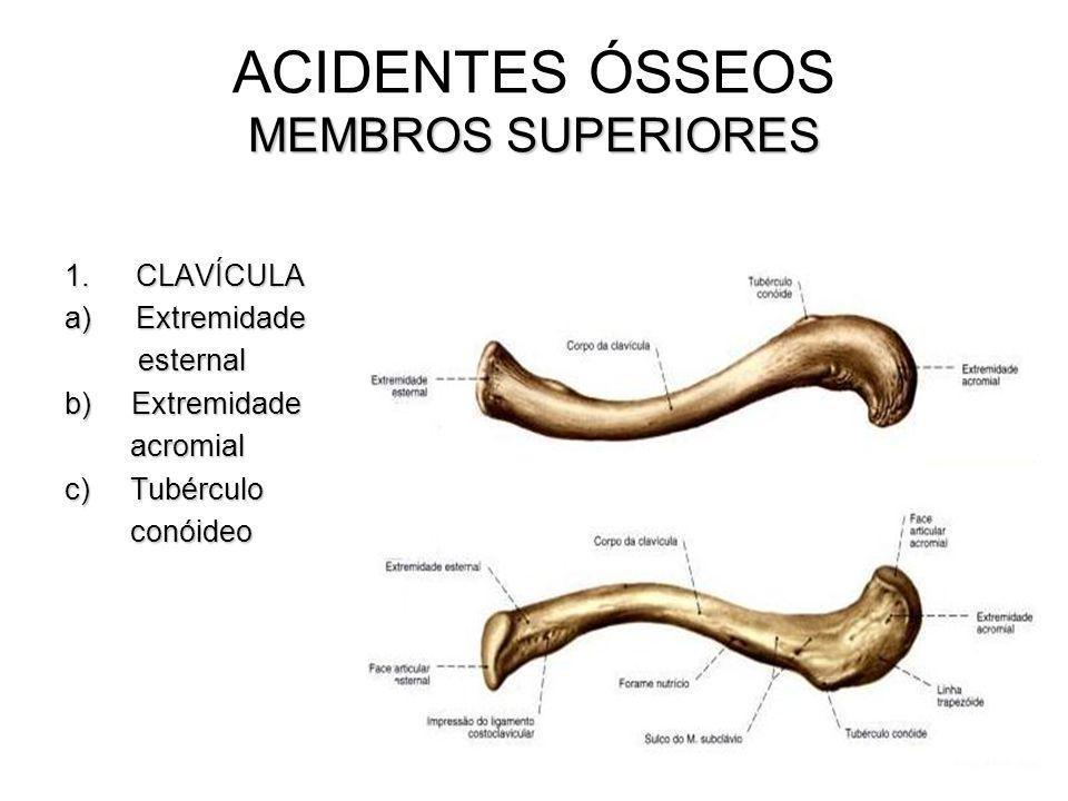 MEMBROS SUPERIORES ACIDENTES ÓSSEOS MEMBROS SUPERIORES 1.CLAVÍCULA a)Extremidade esternal esternal b) Extremidade acromial acromial c) Tubérculo conói