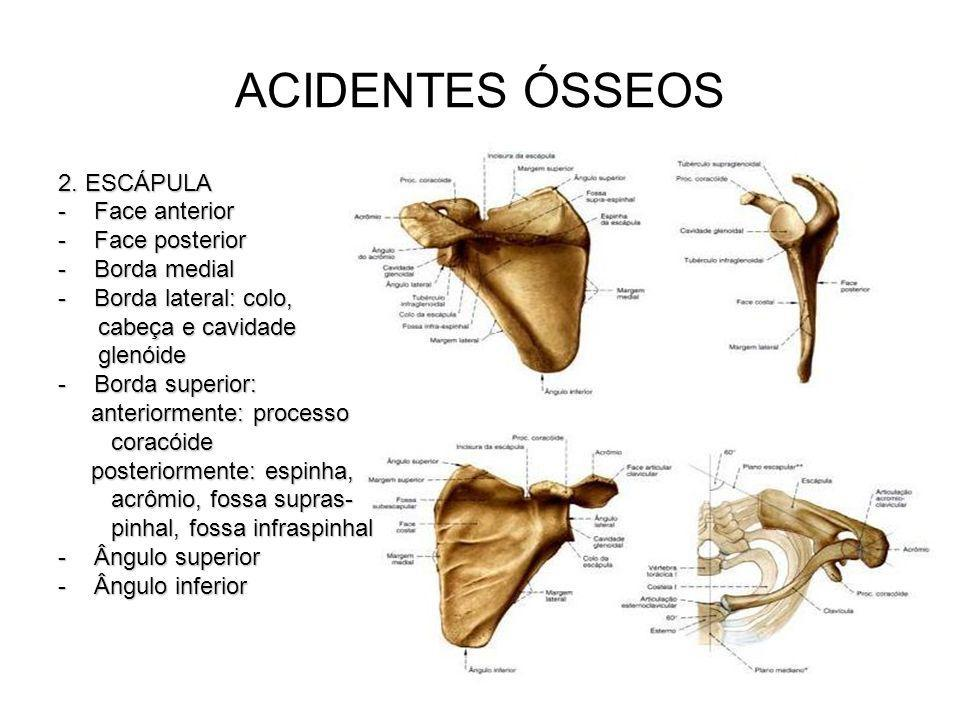 ACIDENTES ÓSSEOS 2. ESCÁPULA -Face anterior -Face posterior -Borda medial -Borda lateral: colo, cabeça e cavidade cabeça e cavidade glenóide glenóide