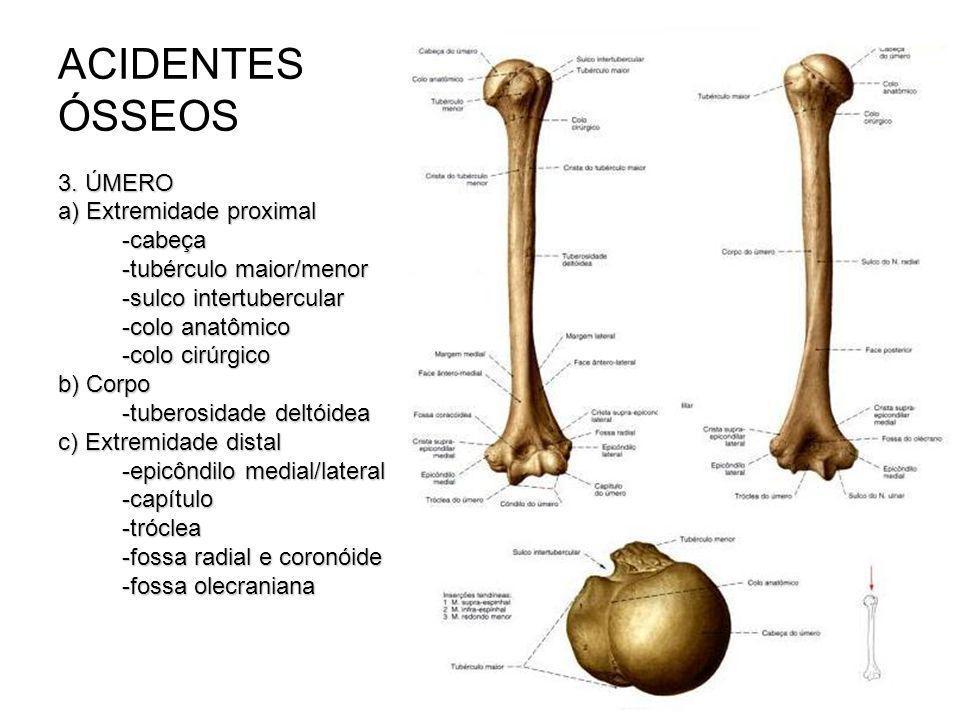 ACIDENTES ÓSSEOS 3. ÚMERO a) Extremidade proximal -cabeça -tubérculo maior/menor -sulco intertubercular -colo anatômico -colo cirúrgico b) Corpo -tube