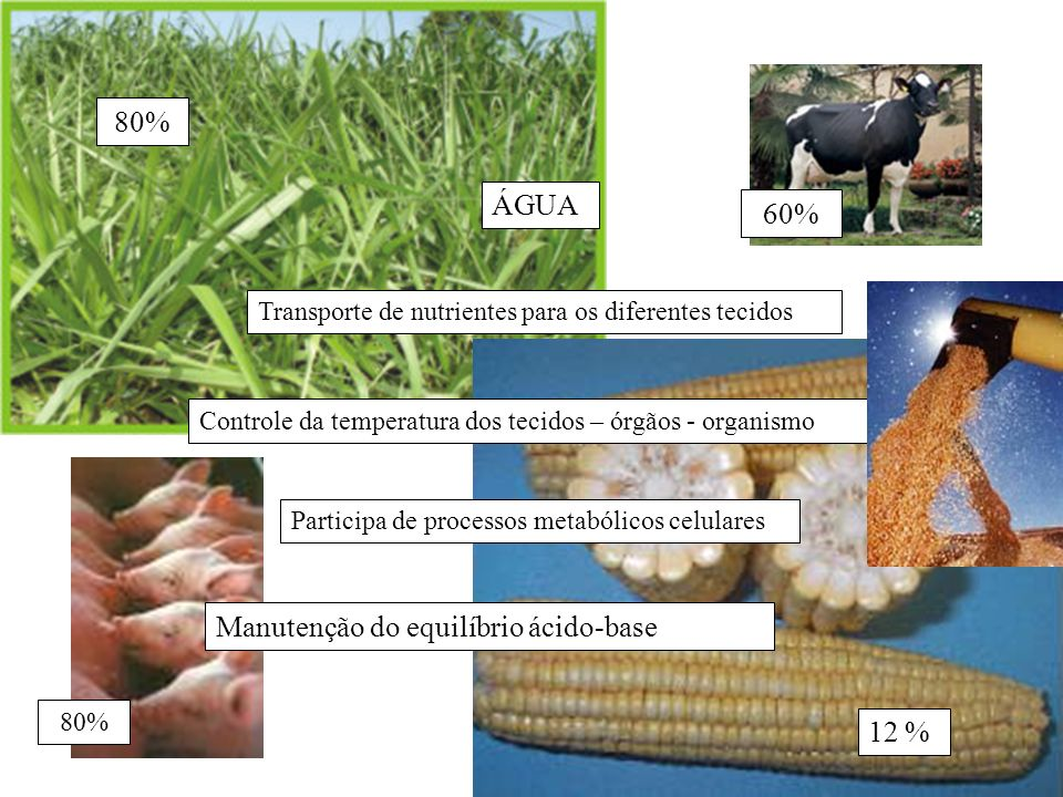 ÁGUA Transporte de nutrientes para os diferentes tecidos Controle da temperatura dos tecidos – órgãos - organismo Participa de processos metabólicos c