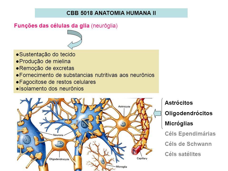 CBB 5018 ANATOMIA HUMANA II Funções das células da glia (neurôglia) Sustentação do tecido Produção de mielina Remoção de excretas Fornecimento de subs