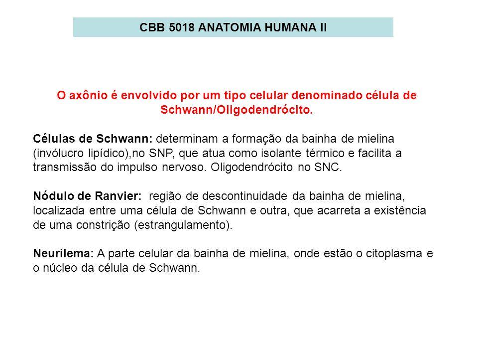 CBB 5018 ANATOMIA HUMANA II O axônio é envolvido por um tipo celular denominado célula de Schwann/Oligodendrócito. Células de Schwann: determinam a fo