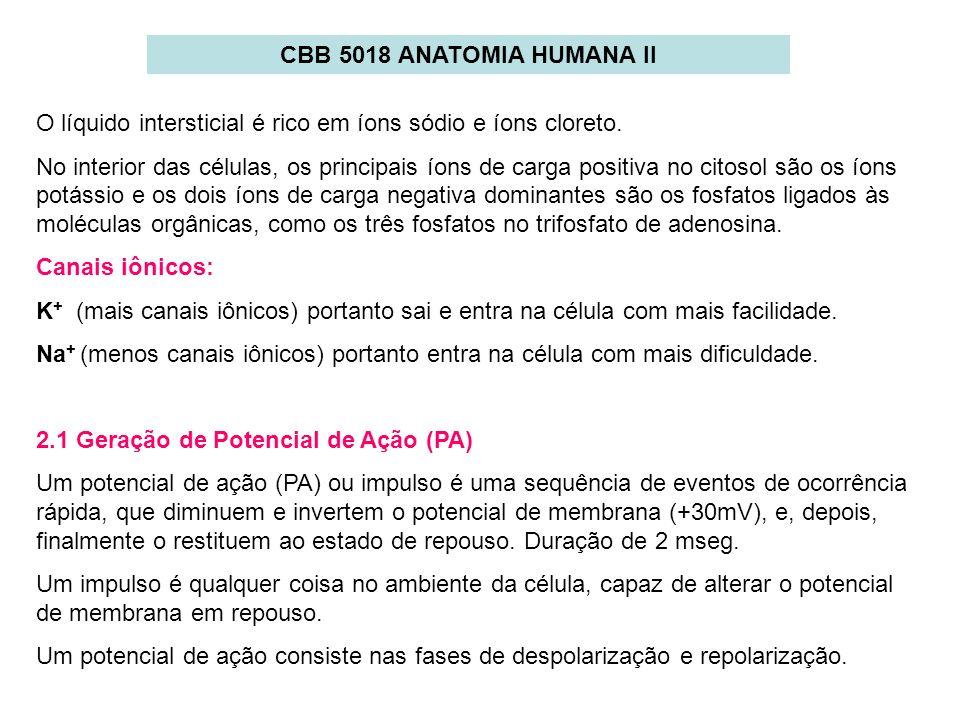 CBB 5018 ANATOMIA HUMANA II O líquido intersticial é rico em íons sódio e íons cloreto. No interior das células, os principais íons de carga positiva